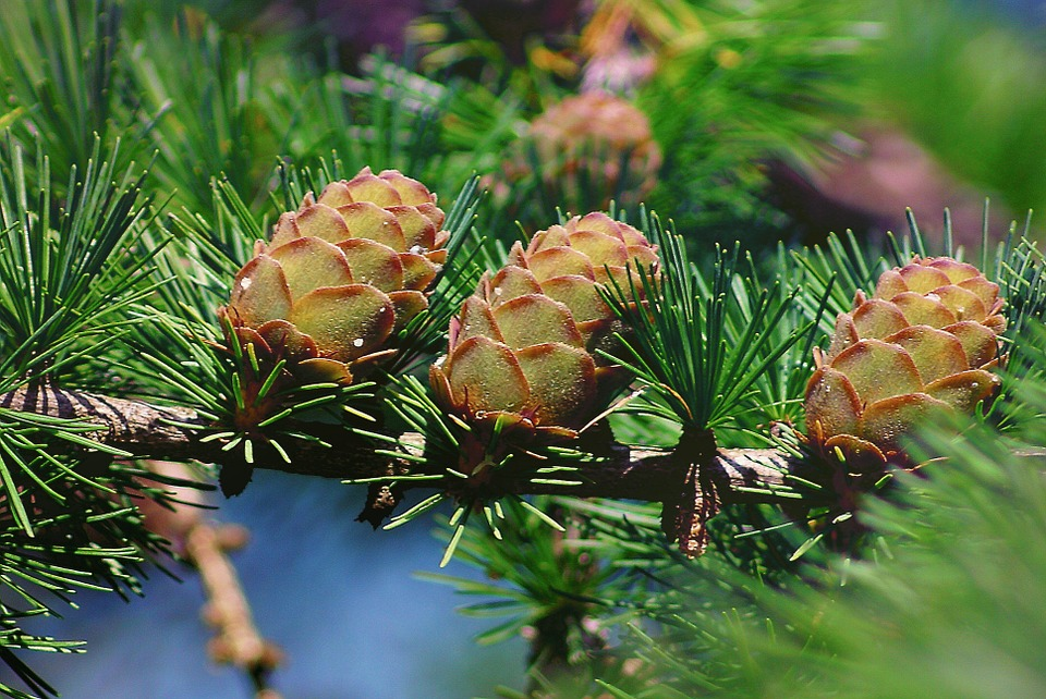 Conifer-Cones