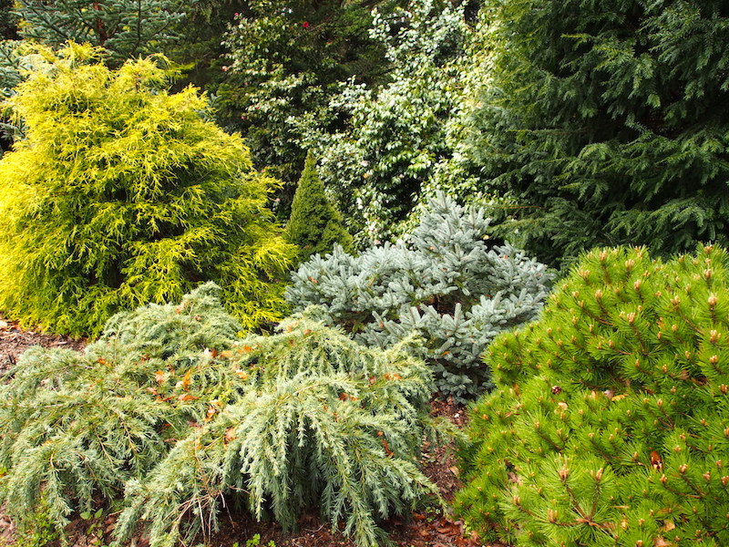 dwarf conifer garden trees