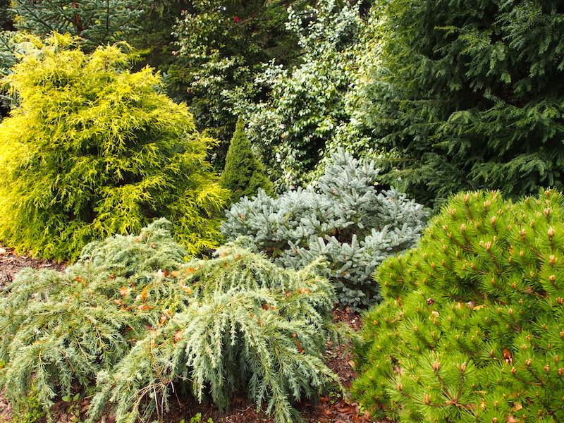 dwarf conifer garden trees