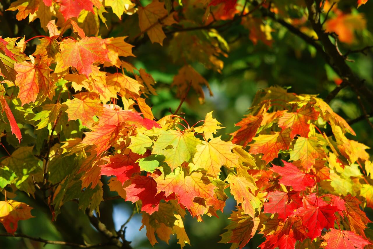 autumn-foliage-leaves