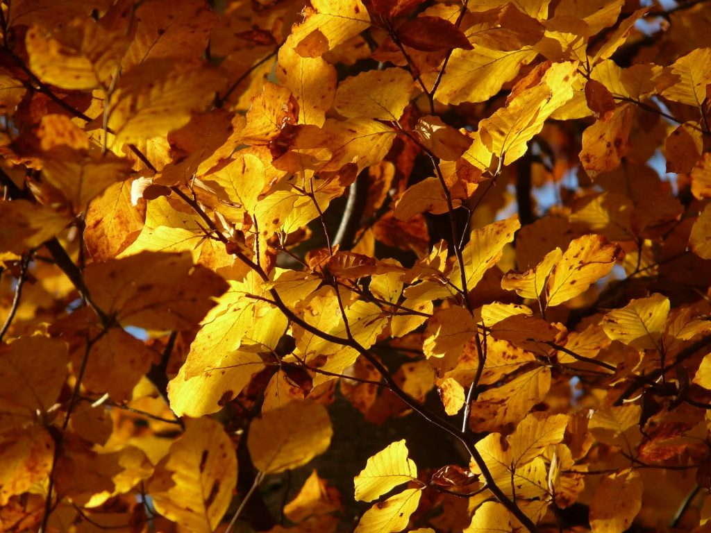 beech-tree-autumn-foliage