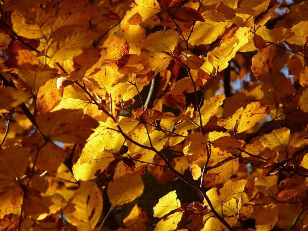 beech-tree-autumn-foliage