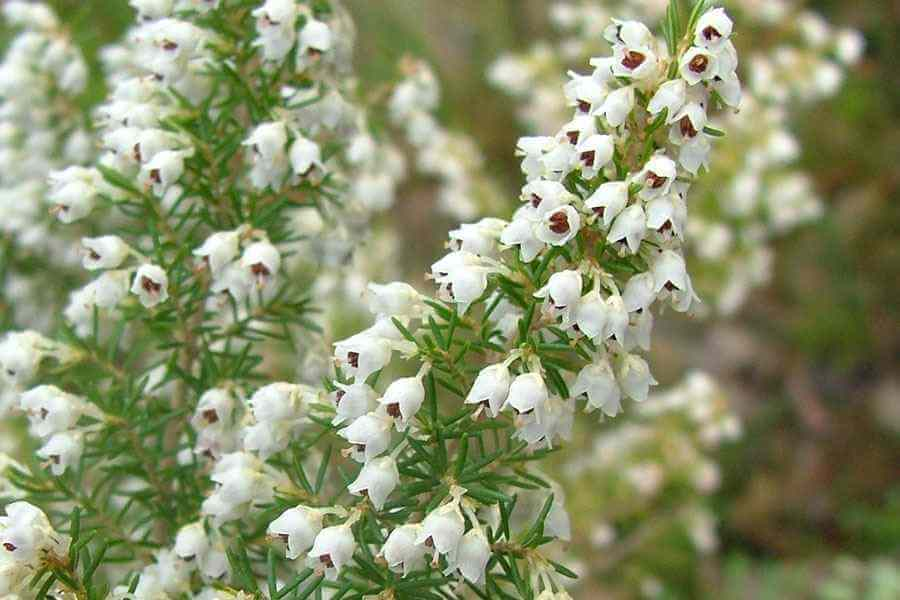 Erica arborea - tree heather