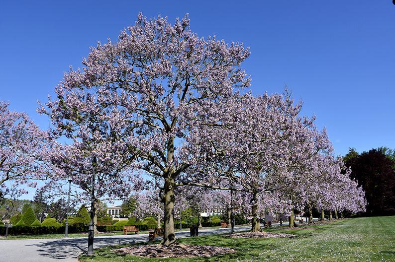 foxglove tree