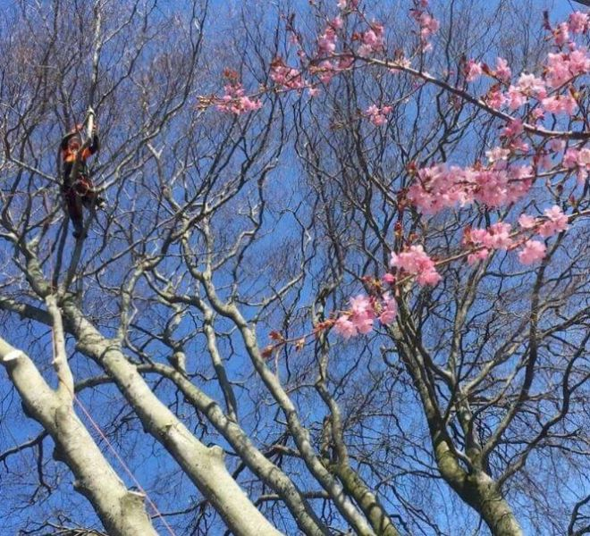 tree care and maintenance tree pruning tree surgeon at work