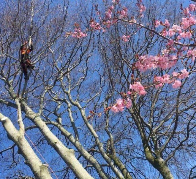 tree care and maintenance tree pruning tree surgeon at work