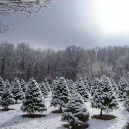 christmas-tree-care